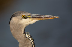 Grey Heron - head shot