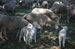 brebis-4288.jpg (patrice fender) Tags: champs agriculture moutons domaine camargue brebis troupeau agneaux saintmartindecrau
