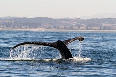 _MG_8749 (orca_bc) Tags: california monterey unitedstatesofamerica montereybay pacificocean whale whales humpbackwhale marinelife baleen megapteranovaeangliae humpbackwhales cetaceans cetacean marinesanctuary baleenwhale blueoceanwhalewatch