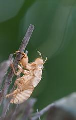 Cicadidae Molting (Quentin ROBIN) Tags: macro nikon sigma bugs 150 d800e