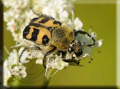 Trichius zonatus (Fotografa de Naturaleza de Paco Moreno Gmez) Tags: parque insectos fauna flora natural huelva beetle pantano bugs sierra escarabajo picos coleoptera aracena coleoptero aroche