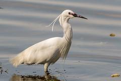 Little Egret 21/04/15 (johnatkins2008) Tags: riverside feeding lakeside waterside waders ferrymeadows littleegret wadingbirds neneparktrust johnatkins2008