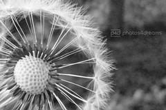 b/w challenge 129/365 (photos4dreams) Tags: bw white black macro dandelion sw makro weiss challenge schwarz löwenzahn pusteblume weis herausforderung photos4dreams photos4dreamz p4d