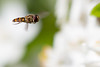 Looking for lunch 5 (KevPBur) Tags: yellow whiteflower hoverfly episyrphus balteatus choisya canon650d canon70200mmf28lisiiusm canonextenderef14xiii canonrebelt4i canonkissx6i canon650dcanonkissx6icanonrebelt4i