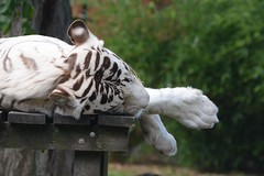 Weier Tiger im Zoo de Maubeuge (Ulli J.) Tags: france zoo frankreich tiger tijger nordpasdecalais tigre whitetiger nord maubeuge wittetijger tigreblanc weisertiger