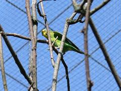 Wilhelma P1640804 (martinfritzlar) Tags: zoo tiere stuttgart vögel garten wilhelma wellensittich botanischer sittich melopsittacus papageien