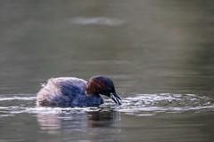 Ode aan Angerenstein 2015 - Jeroen Gosse - Fotobureau de Kracht van Beeld -53.jpg (Jeroen Gosse) Tags: bird arnhem vogel angerenstein dodaars