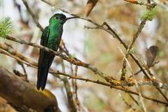 Green-fronted Brilliant , Heliodoxa jacula, Reserva Reinita cielo azul, Eastern andes with bogota birding (OSWALDO CORTES -Bogota Birding and Birdwatching Co) Tags: heliodoxajacula reservareinitacieloazul greenfrontedbrilliant easternandeswithbogotabirding