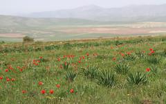 Aksu Canyon (Wild Chroma) Tags: tulips kazakhstan tulipa aksu greigii tulipagreigii zhabagly  a a