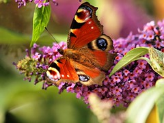Peacock Butterfly 007 (saxonfenken) Tags: flower butterfly insect dof storybook gamewinner 6929 herowinner pregamesweep duelsweep 6929but
