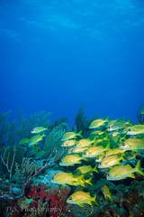 Andrea's Reef, Gunica Puerto rico (D.S.Photography) Tags: fish green canon underwater puertorico dive wideangle padi reef corals buceo coralreef grunts guanica underwaterphotography marinesciences t2i