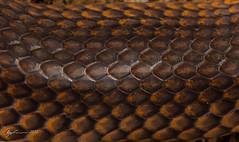 Carpentaria Snake scales (R. Francis) Tags: qld queensland felton prestbury cryptophisboschmai carpentariasnake ryanfrancis ryanfrancisphotography feltonvalley