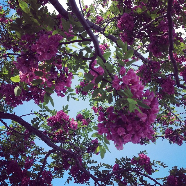 The worlds newest photos of pink and robinia flickr hive mind pink flowering locust along the west side bike path kristine paulus tags mightylinksfo