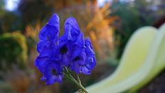 blue Flower (Belua Technicus) Tags: garten blume narzisse tulp tulpe rutsche blau