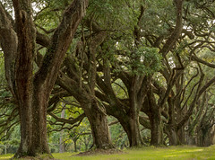 live oaks (doddsjzi) Tags: trees liveoaks liveoaktrees quercusvirginiana allee treelinedlane charlestoncountysc southcarolinalowcountry