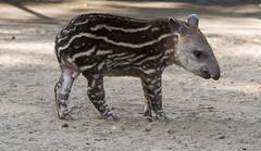 Zuid-Amerikaanse Tapir,Jong_01 (Nick Dijkstra) Tags: artis jong laaglandtapir southamericantapir tapirusterrestris zuidamerikaansetapir