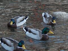 8. (Seweet) Tags: camprodon catalunya spain girona ripolls patos agua rio pirineos pyrinees