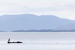 Blue Heron, Blue Hills (Scriblerus) Tags: blueheron landscape coast seascape water ocean scotland broadfordbay harrapool isleofskye skye