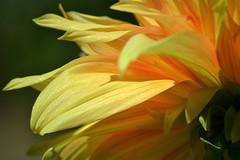 Yellow Petal (KaDeWeGirl) Tags: newyorkstate long island suffolk county bayard cutting arboretum state park william wolkoff dahlia garden yellow petals