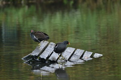 Moorhens (Orange Dean) Tags: moorhen water stockport abneypark bird nikon d3100