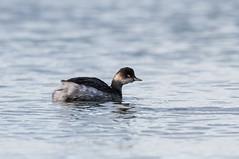 Black-necked Grebe (angus molyneux) Tags: stmarys scilly blackneckedgrebe
