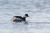 Black-necked Grebe (angus molyneux) Tags: stmarys scilly blackneckedgrebe
