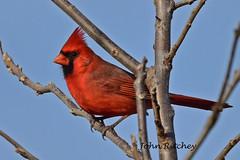 Cardinal (ritchey.jj) Tags: cardinal