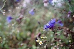 beauty of october meadow (Explore: Oct 7, 2016) (kinaaction) Tags: meadow nature flowers wildflowers cornflower bokeh sonyilce6000 flora wildflower 7dwf