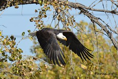 October 17, 2016 - A Bald Eagle takes flight in Thornton. (Ed Dalton)