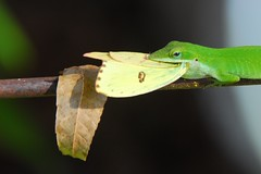 Green Anole Captures Sulphur Butterfly (Bea Hive) Tags: nature anole green butterfly sulphur leaf pecan gary panolacounty texas usa