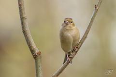 Pinson des arbres (Tifaeris) Tags: commonchaffinch fringillacoelebs fringillids passriformes pinsondesarbres bird oiseau