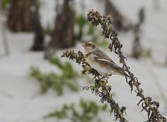 Snow Bunting (swmartz) Tags: barnegat barnegatlighthouse birds bird outdoors wildlife nikon nature newjersey bunting