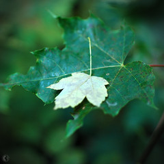 leaf on leaf (carbeck) Tags: forest fall autumn germany hesse marburg square 35mm leaves leaf wallpaper 16x10 16x9