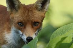 Fox (Vulpes vulpes). (Sandra Standbridge.) Tags: fox vulpesvulpes mammal tonguetastic tongue animal outdoor wildandfree wildlife encounter eyes