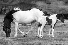 SHL_4497 copy (Shlomi's Pic) Tags: addtoonepic איסלנד בעליחיים טבע טיולחול סוס