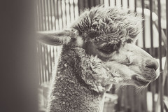 Llama (yosmama151) Tags: 2016 oklahoma statefair llama farmanimal mammal blackandwhite bw monochrome