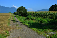 Rural Japan Corn Field (pokoroto) Tags: rural japan corn field mount fuji  fujisan yamanashi prefecture   8   hachigatsu hazuki leafmonth 2016 28 summer august