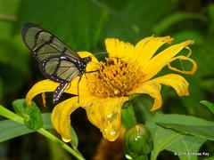 Methona sp. on Tithonia diversifolia (Ecuador Megadiverso) Tags: asteraceae butterfly flower loscedros methonasp nymphalidae tithoniadiversifolia andreaskay ecuador
