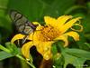 Methona confusa psamathe on Tithonia diversifolia (Ecuador Megadiverso) Tags: asteraceae butterfly flower loscedros methonasp nymphalidae tithoniadiversifolia andreaskay ecuador methonaconfusapsamathe idbykeithwillmott reservaloscedros