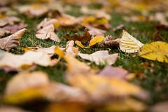 Fallen Leaves (Niels A) Tags: import20161026 fall kastellet