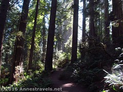 Trail through the Lady Bird Johnson Grove (Anne's Travels) Tags: redwoodnationalpark redwoods ladybirdjohnsongrove california
