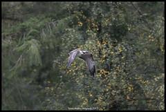 Soudley Osprey (Thomas Winstone) Tags: soudley england unitedkingdom gb osprey canonuk canon 300mm28mk2 birds aves wales uk bird raptor birdperfect birdwatcher birdinflight birdsinflight birdofprey