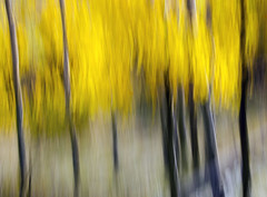 Your Dreaming........ (Steve Corey) Tags: sierranevadamountains aspens trees goldcolor abstract icm intentionalcameramovement camerafun