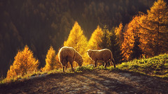 grazing at sunset ... (clo dallas) Tags: outdoor pascolo grazing sunset tramonto paesaggio landscape nature pecore sheep canon trees autumn autunno explore inexplore