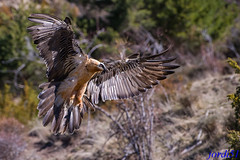 Como si fuera una aparición. ( Gypaetus barbatus ) (jordi51) Tags: beardedvulture quebrantahuesos trencalòs jordi51 aves birds wildlife nature naturaleza gypaetusbarbatus