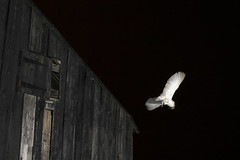 Barney in Flight (JimPobPhotography) Tags: barn barnowls wildlife wildlifephotography nature photography nikon nikond5300 nikon1855mm nikonphotography night nighttime nightphotography owls owl flight birds birdsofprey bird