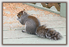 Grey Squirrel (bigbrowneyez) Tags: squirrel greysquirrel beautiful richcoat seeds birdseeds mydeck nature natura bello bellissimo eating edible food hungry frame cornice watching visitor friendly trellis animal furry stealing striking fantastic flickrgrey thief fat