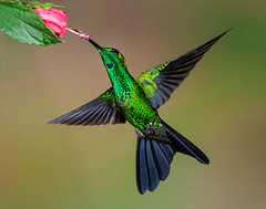 Green-crowned Brilliant (Eric Gofreed) Tags: basquedepazraincloudforestlodgebiologicalreserve costarica greencrownedbrilliant heliodoxajacula hummingbird