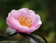The reluctance to put away childish things... (itucker, thanks for 2.6+ million views!) Tags: pink hppt camellia macro bokeh pinkgoddess dukegardens
