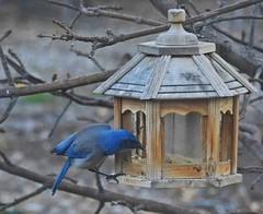Blue's Breakfast (Signing Off Today-See U In A Week!) Tags: odc surprise bird bluescrupjay large onthefeeder takenthroughthewindow arizonaashtree hanging